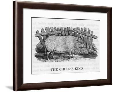 Chinese Pig--Framed Giclee Print