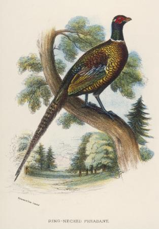 Chinese Ring-Necked Pheasant Phasianus Torquatus