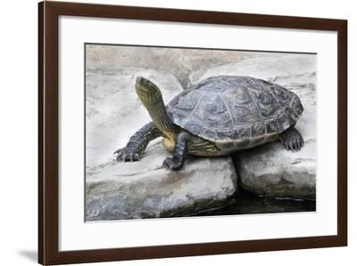 Chinese Stripe-Necked Turtle-Hal Beral-Framed Photographic Print