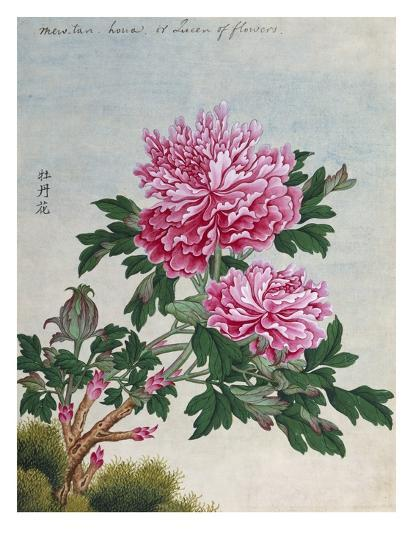 Chinese Watercolor of Pink Peonies--Giclee Print