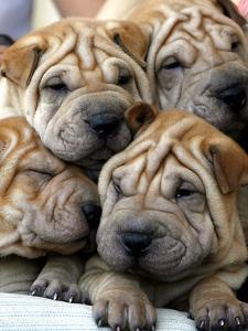 Chineses Shar-Pei Puppies are Displayed for Sale