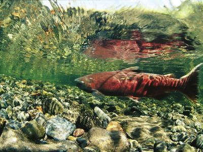 Chinook Or King Salmon in a Clear Alaska Stream-Michael S^ Quinton-Photographic Print