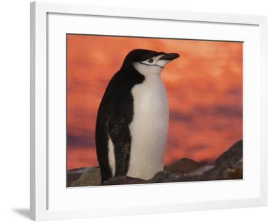 Chinstrap Penguin at Sunset, Antarctica-Edwin Giesbers-Framed Photographic Print