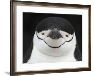 Chinstrap Penguin Head Portrait, Antarctica-Edwin Giesbers-Framed Photographic Print