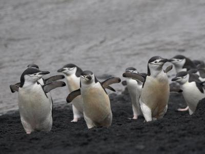 Chinstrap Penguin on the beach, Deception Island, Antarctica-Keren Su-Photographic Print