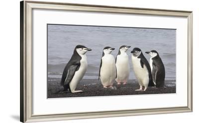 Chinstrap Penguin. Whaler's Bay, Deception Island. Antarctica.-Tom Norring-Framed Photographic Print