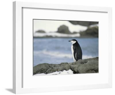 Chinstrap Penguin-Gordon Wiltsie-Framed Photographic Print