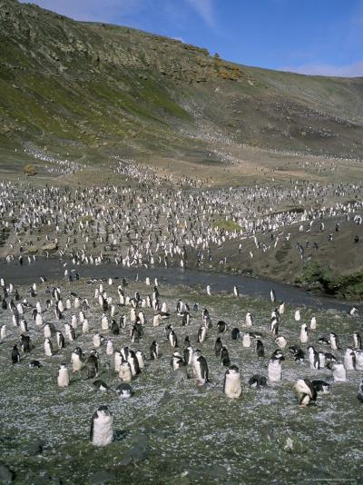 Chinstrap Penguins at Baily Head, Deception Island, Antarctica, Polar Regions-Geoff Renner-Photographic Print