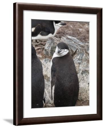 Chinstrap Penguins, Hannah Point, Livingstone Island, South Shetland Islands, Polar Regions-Robert Harding-Framed Photographic Print