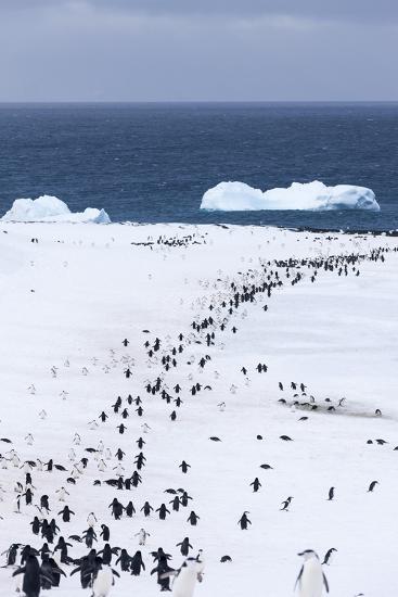 Chinstrap Penguins in Snow, Deception Island, Antarctica-Paul Souders-Photographic Print