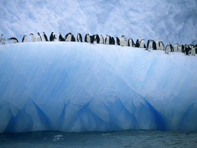 Chinstrap Penguins Lined up Along a Blue Iceberg-Ralph Lee Hopkins-Photographic Print