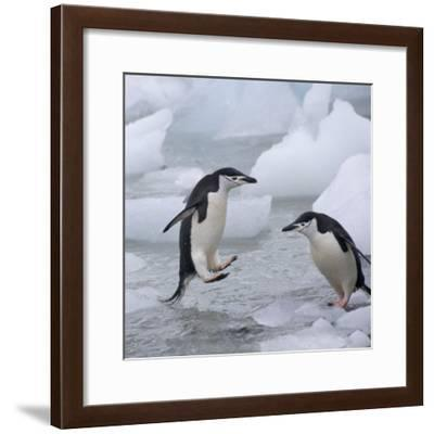 Chinstrap Penguins on ice, South Orkney Islands, Antarctica-Keren Su-Framed Photographic Print