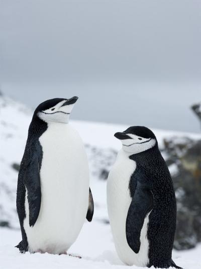 Chinstrap Penguins (Pygoscelis Antarcticus), Half Moon Island, Antarctic Peninsula, Weddell Sea-Thorsten Milse-Photographic Print