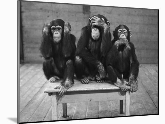 Chipanzees Not Hearing, Seeing or Speaking Evil-null-Mounted Photographic Print
