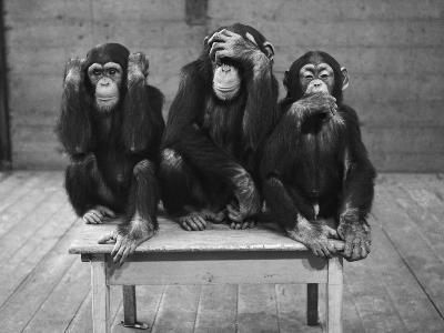Chipanzees Not Hearing, Seeing or Speaking Evil--Photographic Print