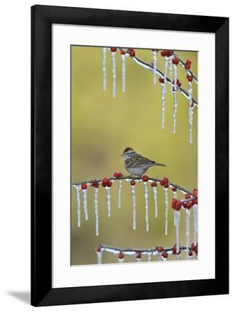Chipping Sparrow perched on icy Possum Haw Holly, Hill Country, Texas, USA-Rolf Nussbaumer-Framed Premium Photographic Print