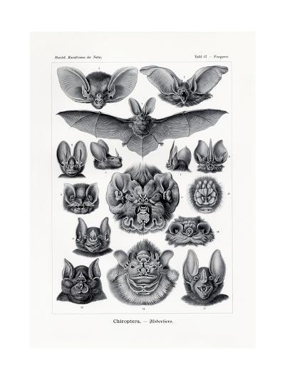 Chiroptera, 1899-1904--Giclee Print