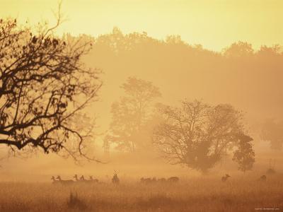Chital Deer (Axis Axis) at Dawn, Kanha National Park, Madhya Pradesh, India-Pete Oxford-Photographic Print