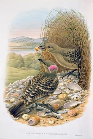 Chlamydera Nuchalis, Great or Great Grey Bowerbird-William M. Hart-Giclee Print