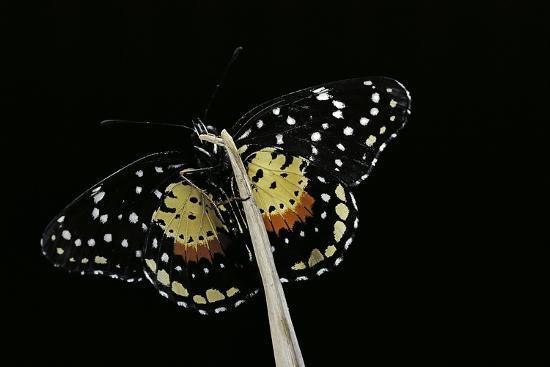 Chlosyne Janais (Janais Patch Butterfly, Crimson Patch)-Paul Starosta-Photographic Print