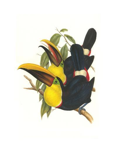 Choco Toucan-John Gould-Art Print