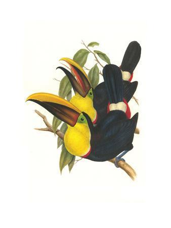 https://imgc.artprintimages.com/img/print/choco-toucan_u-l-pgggvf0.jpg?p=0