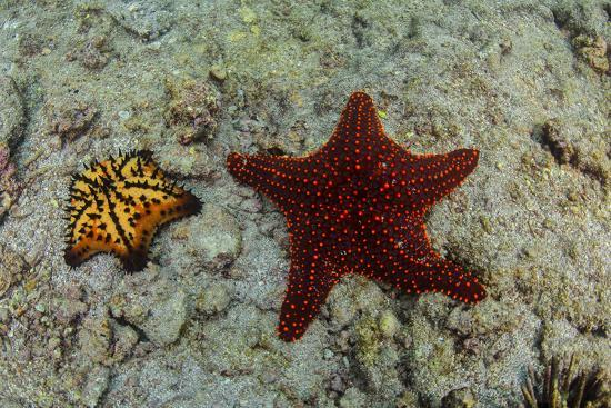 Chocolate Chip Starfish and Panamic Cushion Star, Galapagos, Ecuador-Pete Oxford-Photographic Print