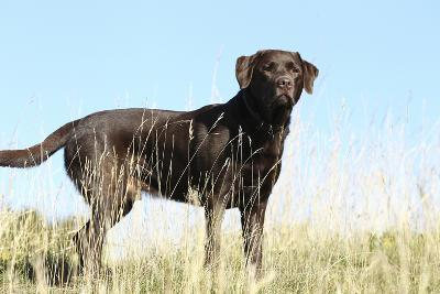Chocolate Labrador Retriever 35-Bob Langrish-Photographic Print