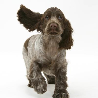 Chocolate Roan Cocker Spaniel Puppy, Topaz, 12 Weeks, Running with Ears Flapping-Mark Taylor-Photographic Print