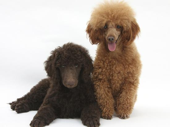 Chocolate Standard Poodle Puppy, Tara, 8 Weeks, with Adult Red Toy Poodle,  Reggie, 18 Months Photographic Print by Mark Taylor | Art com