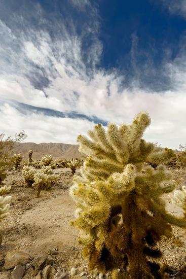 Cholla Blooms, Joshua Tree National Park, California, USA-Richard Duval-Photographic Print