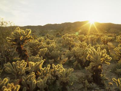Cholla Cactus at Sunset, Sonoran Desert, Anza Borrego Desert State Park, California, USA-Adam Jones-Photographic Print