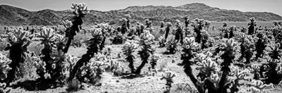 Cholla cactus in Joshua Tree National Park, California, USA