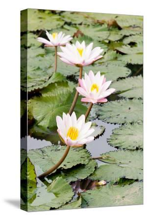 Water Lily (Lotus) and Leaf in Pond