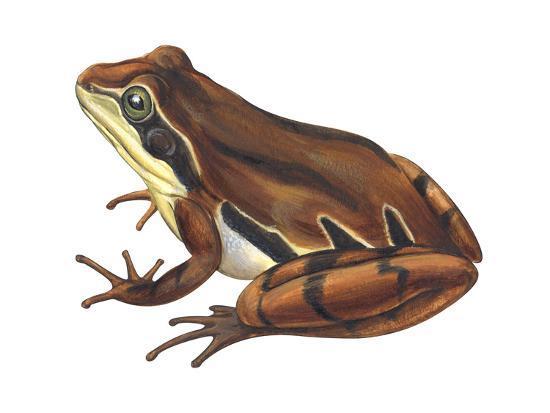 Chorus Frog (Pseudacris Ornata) , Amphibians-Encyclopaedia Britannica-Art Print