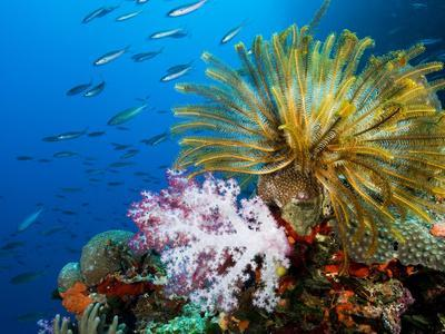 Chrinoid and a Soft Coral Tree Decorate the Edge of a Coral Reef-Mauricio Handler-Premium Photographic Print