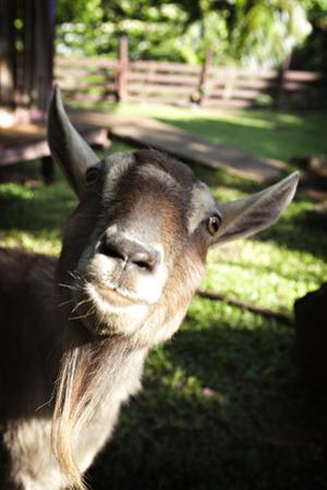 A Curious Goat Peers into the Camera Lens by Chris Bickford