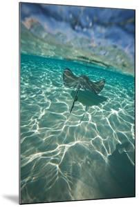 A Stingray Swims over a Series of Shallow Sandbars Off the Cayman Islands by Chris Bickford