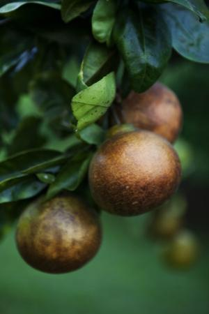 Pear Fruit Ripening on a Tree in an Orchard Overlooking the Waipi'O Valley on Hawaii Island by Chris Bickford