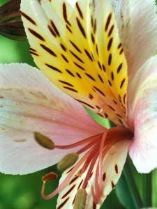 Alstroemeria (Stablaco) Diana Princess of Wales, Close-up of Flower Head by Chris Burrows
