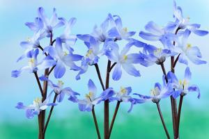 Chionodoxa Forbesii 'Blue Giant' Glory of the Snow March by Chris Burrows