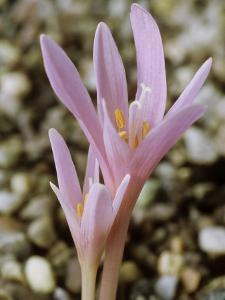Colchicum Corsicum, October by Chris Burrows