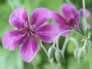 Cranesbill, Close-up of Purple Flowers and Buds by Chris Burrows