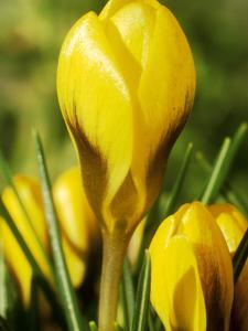 Crocus Chrysanthus, Goldilocks (Yellow) Close-up, February by Chris Burrows