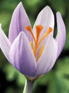 Crocus Robertianus by Chris Burrows