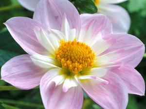 Dahlia (Collerette) Teesbrooke Audrey, Close-up of Flower Head by Chris Burrows