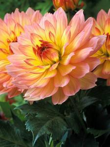 Dahlia (Gallery Leonardo), Close-up of Flower Heads by Chris Burrows