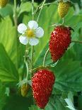 Petunia Strawberry Frost (Conchita Series)-Chris Burrows-Photographic Print