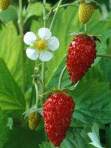 Fragaria Vesca (Alexandra), Strawberry, Close-up of Fruit by Chris Burrows