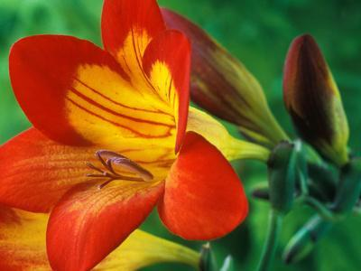 Freesia (Figaro), Close-up of Orange and Yellow Flowers